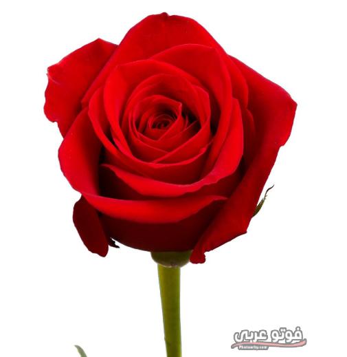 فوتو عربي أجمل صور ورد أحمر 2019 أروع صور ورد أحمر رومانسيي للمحبين