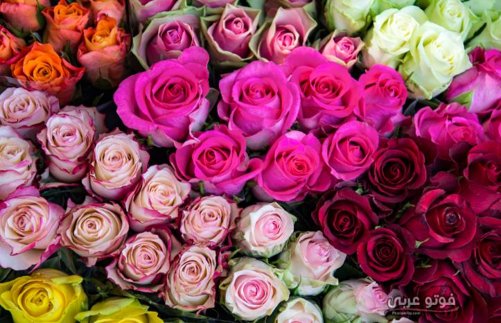 فوتو عربي أجمل صور ورد 2019 باقات ورد جميلة جدا