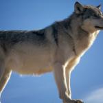أجمل صور ذئب 2019 مفترس