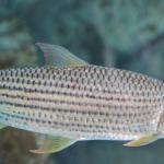 أجمل صور أسماك النيل 2019 أحلى صور أسماك النيل