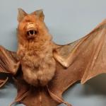صور خفاش متنوعة 2019