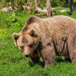 تفسير رؤية الدب في الاحلام