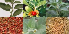 تجارب مؤكدة لعشبة الاشواجندا للصحة والتحنيف وفوائدها