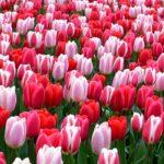 صور ورود وباقات زهور ملونة